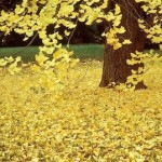 Ginko Tree in Fall color